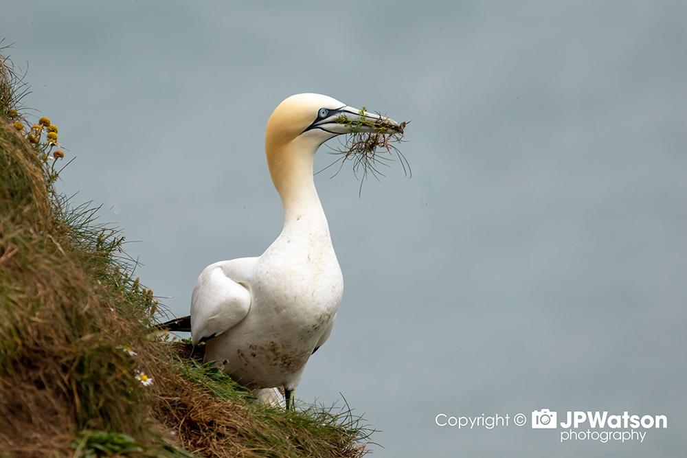 Gannet Collecting For The Nest